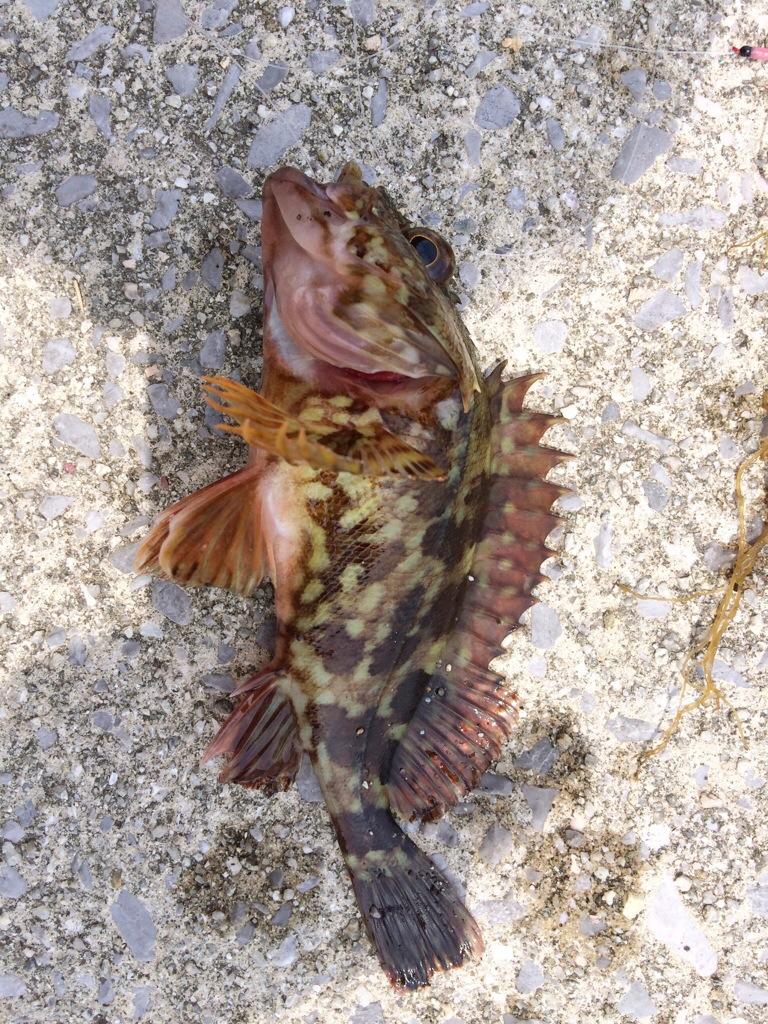 桜鯛の赤ちゃんとちっちゃいトラギス釣れました^^周防大島へ4歳れいらちゃんと二人でファミリーフィッシング③