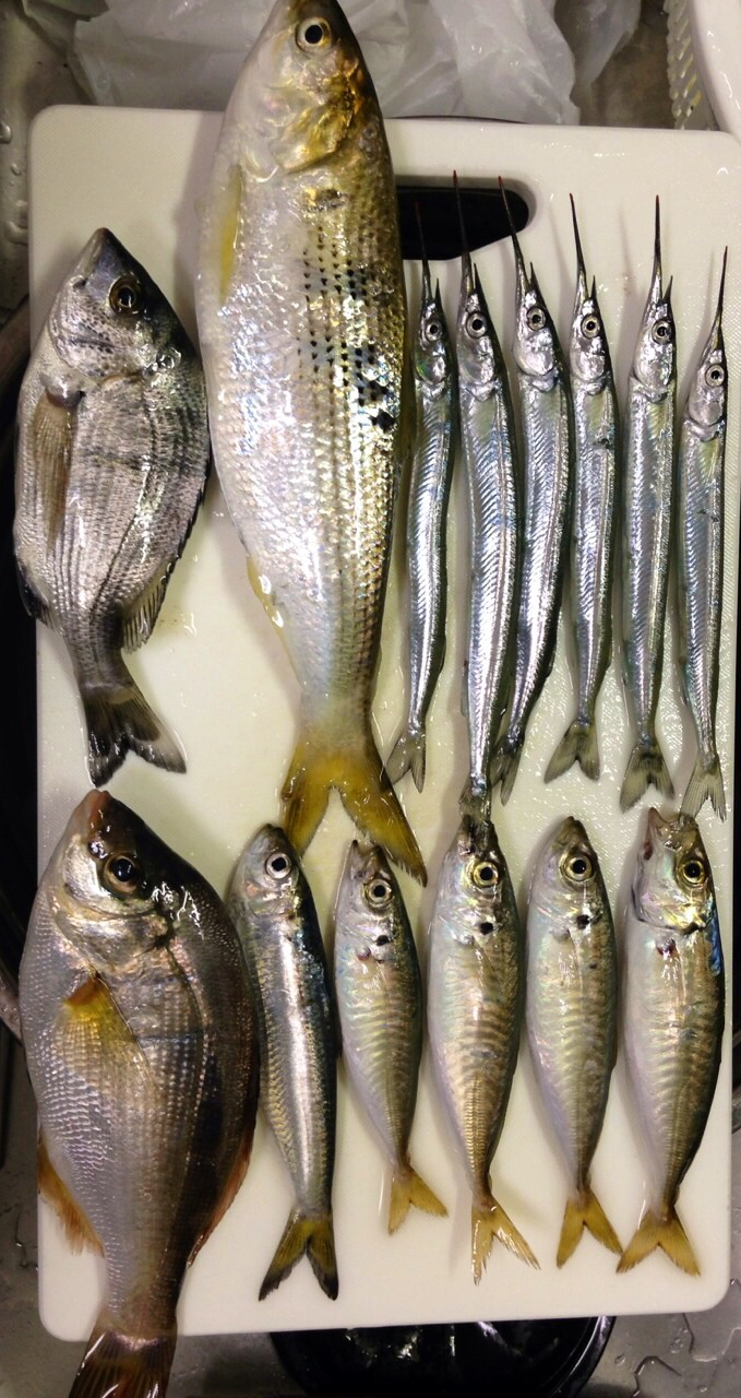 サヨリ6匹 ウミタナゴ1匹 鯵4匹 小さいチヌ1匹etc 木材港から小田島公園釣果
