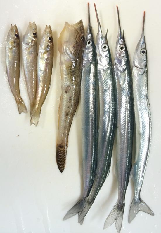 イワシの群れ♬広島釣果 井口港で サヨリ釣り♬ 小いわし大漁〜♬