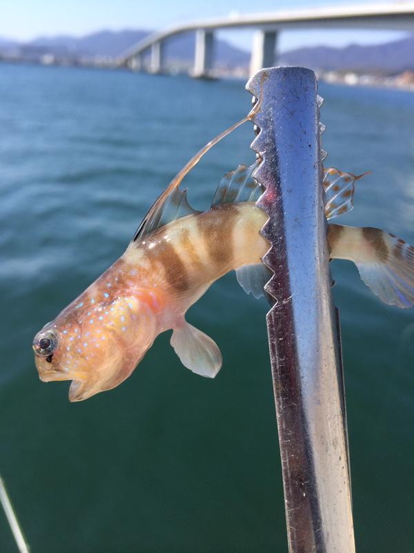 今日はちっちゃなあいつが釣れました!広島 井口港 廿日市港での釣果