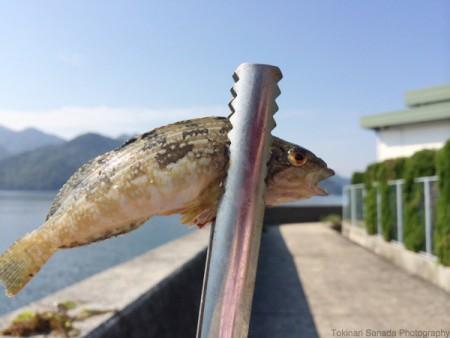 子供でも釣れるファミリーフィッシングと釣果-波止で鱚釣り15