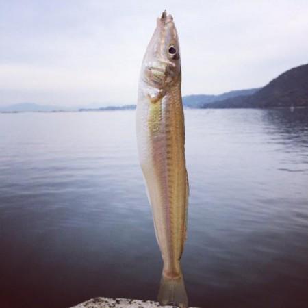 子供でも釣れるファミリーフィッシングと釣果-波止で鱚釣り8