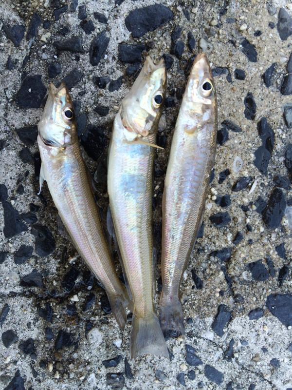 地元の漁港で鱚が釣れました^^