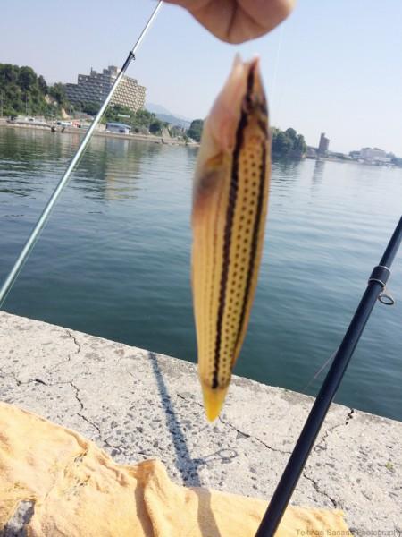 子供でも釣れるファミリーフィッシングと釣果-波止で鱚釣り19