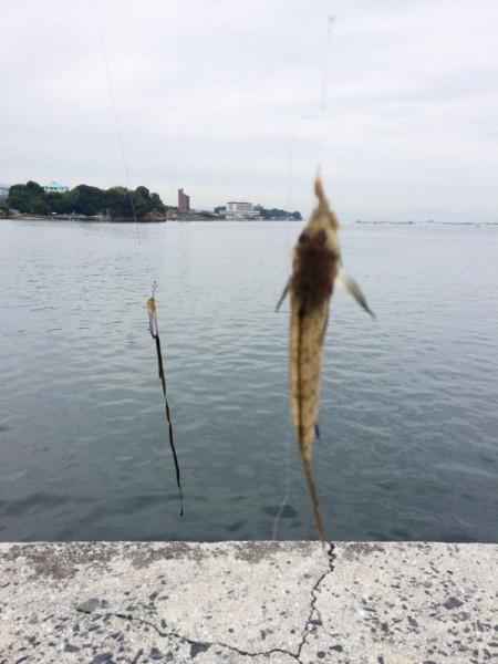 子供でも釣れるファミリーフィッシングと釣果-波止で鱚釣り1